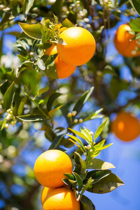 Oranges vs Vitamin C